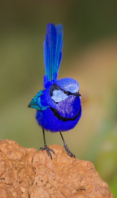 fairy wren blue bird