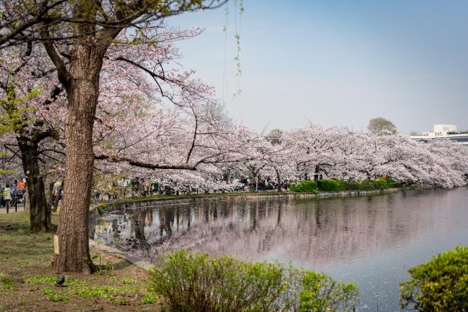 ueno blossom.jpg