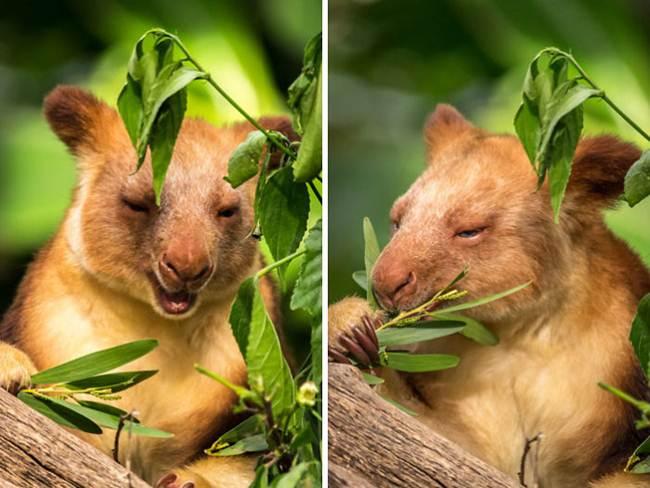Goodfellow Wood Kangaroo | The Tree-Kangaroo